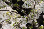 上野公園と桜